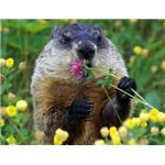 groundhog-day-backgrounds-groundhog-eating-flower