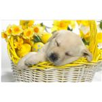 Puppy in Easterbasket Wallpaper