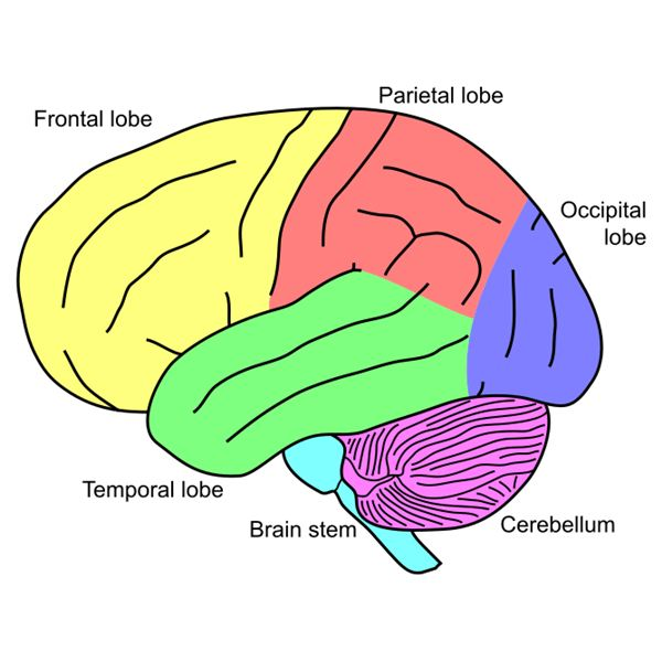 Lesson Plan Basic Brain Anatomy For Elementary School – Parts of the Brain Worksheet