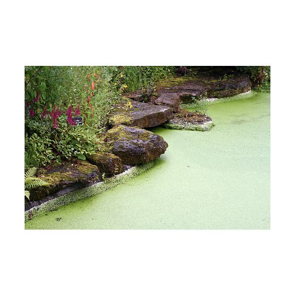 How To Get Rid Of Duckweed In Pond Naturally