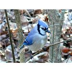 Blue jay perched on a tree.