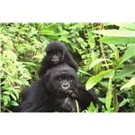 Gorilla mother and baby at Volcans National Park