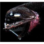 Deep-sea Fish, Photostomias Guernei