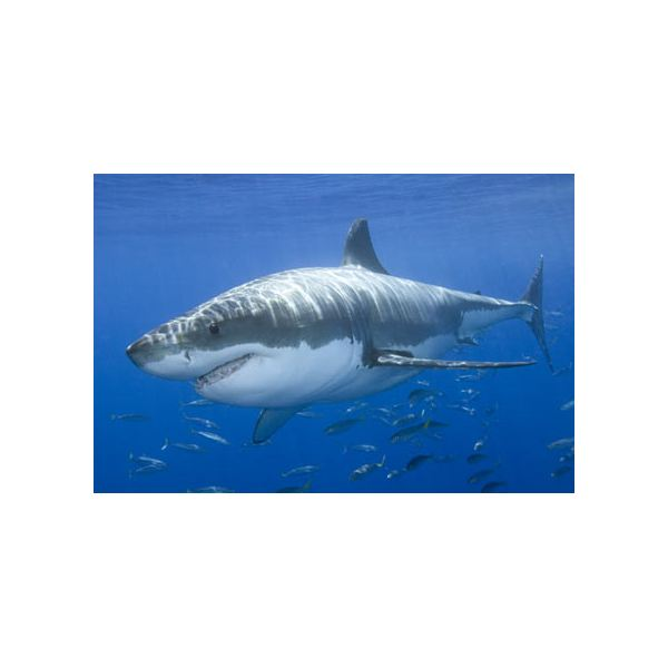 the different types of sharks that belong to the class chondrichtyes Scientists work hard to put every living thing in a classificationsharks belong in the class chondrichthyes there are over 470 species of shark ranging from.