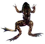 Deformed Frog