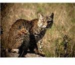 bobcat 3