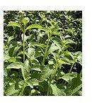 111px-Stevia rebaudiana foliage