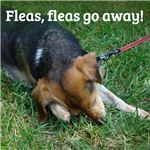 Getting rid of fleas without using pesticides