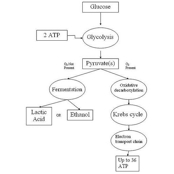 A Comparison of Photosynthesis and Cellular Respiration: How are ...