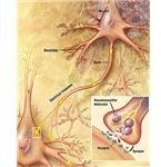 brainsynapses
