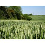 Wheat near Little Frith farm - geograph.org.uk - 183502