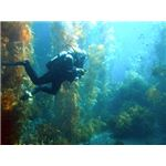 A scuba diver in a kelp forest