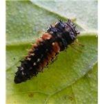 Larvae of a Ladybug