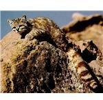750px-Gato wildcat