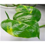 Golden Pothos Indoor Greenhouses