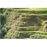 800px-Banaue Rice Terrace Close Up (3)