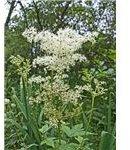 meadowsweet herbs