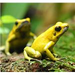 Phyllobates terribilis (the most toxic poison dart frog)