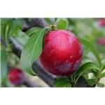 800px-Plum on tree