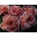 Pearly dew drop roses