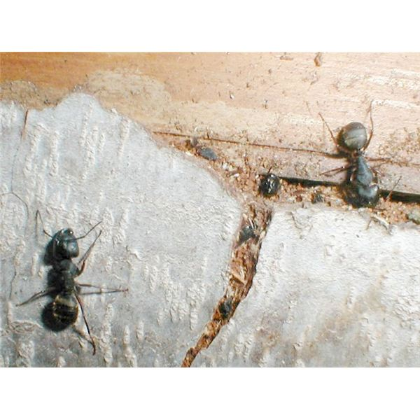 Natural Way Of Getting Rid Of Ants In The House
