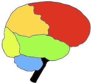 blank brain lobe diagram