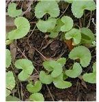Gotu Kola (Centella asiatica)