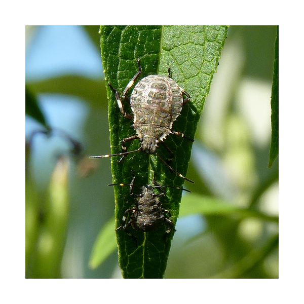 Non Toxic Elimination Of Stink Bugs