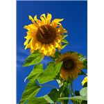 The Sunflower: On the Limits and Possibilities of Forgiveness - High School Lesson