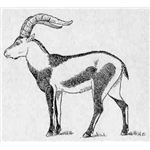 Drawing of PyreneanIbex-Cabrera1914 - image released into the public domain as copyright has expired