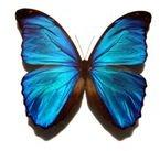 Blue morpho butterfly 300x271