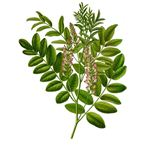 Licorice - herb for HIV