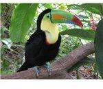 Keel-billed toucan.