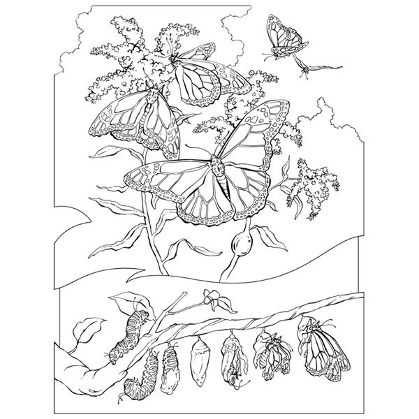 realistic butterflies coloring pages - photo#23
