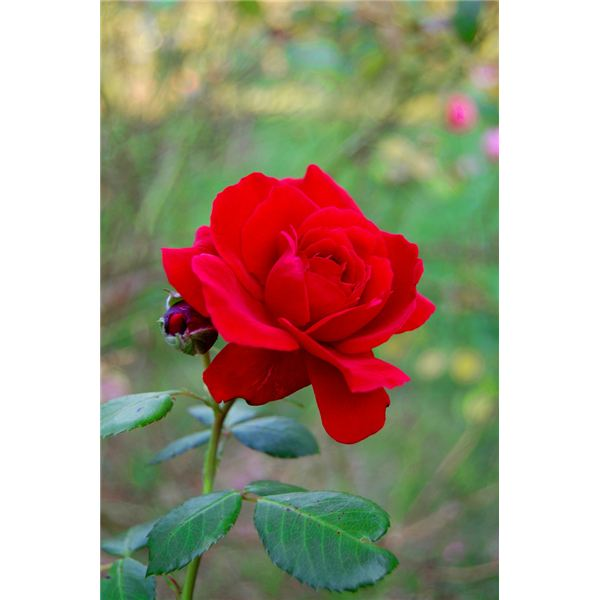 analytical essay red red rose Robert burns' 'a red, red rose' celebrates eternal love in multiple ways this interactive quiz and printable worksheet can be used at any time to.