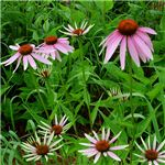 echinacea herbs for inflammation