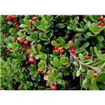 Bearberry Leaves and Berries