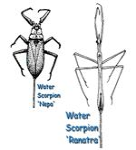 Water Scorpions (Nepa and Ranatra)