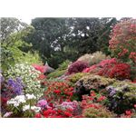 Rhododendrons and azaleas in full bloom, Bodnant Garden - geograph.org.uk - 331032