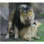 African Lions Mating (Denver Zoo)
