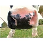 """Cow's nose"" by Keven Law/Wikimedia Commons via Creative Commons Attribution-Share Alike 2.0 Generic license"