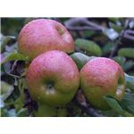 800px-Bramley's Seedling Apples Ready for Picking