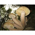 800px-Armillaria ostoyae - image by Alan Rockefeller and released under Creative Commons Attribution ShareAlike 3.0 License