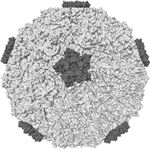 Molecular surface of the capsid of human rhinovirus 16, one of the viruses which cause the common cold - image released under GNU Free Documentation License