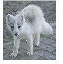 108px-Arctic Fox close up crop