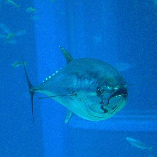 Bluefin Tuna Facts: Scientific Classification, Habitat and Disribution