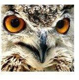 Owl by Hamed Saber