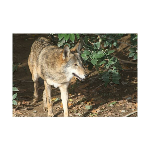Learn Why the Red Wolf Became an Endangered Species & Red Wolf Conservation Attempts