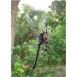 Female and Male Banana Spider with Dragonfly