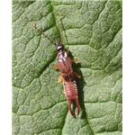 Male lesser earwig resting on leaf - Credit: Wikimedia Commons